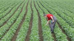 Agriculture, farmer examine soy bean field Stock Footage