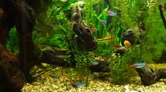 Video aquarium fish swimming in a large aquarium - stock footage
