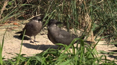 4k Inca tern waterbirds close up on grassy bottom Stock Footage