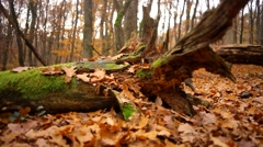 beautiful view in the old park, untouched forest, virgin forests - stock footage