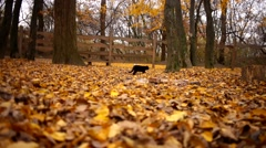 Black cat walking on the autumn leaves in garden Stock Footage