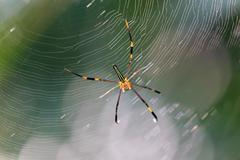 Skinny garden spider Stock Photos