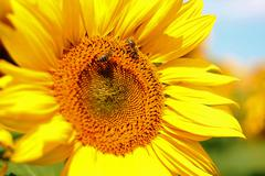Honey Bee Pollinating Sunflower in Field of Sunflowers Stock Photos
