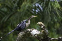 Darter or snakebird, anhinga, wildlife in Costa Rica - stock illustration