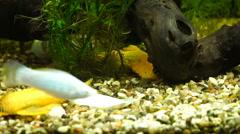 Video aquarium fish swimming in a large aquarium Stock Footage