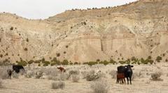Cows grazing in a barren desert landscape in Southern Utah Stock Footage