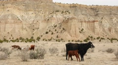 Cows grazing in the barren desert landscape in Southern Utah - stock footage