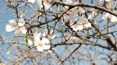 The First Signs of Spring. Blossoming Tree. 4k Stock Footage