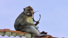 Monkey is  nibbling stolen glasses Stock Footage
