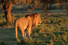 Stock Photo of Big male African lion