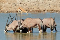 Gemsbok antelopes drinking - stock photo