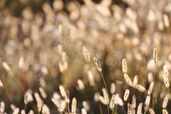 Wild Foxtail Grass Background at Autumn Sunrise Stock Photos