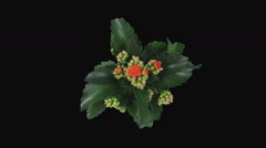 Time-lapse of opening orange kalanchoe flower in RGB + ALPHA matte format, top Stock Footage