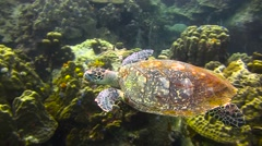 Hawksbill Turtle Colour Corrected - stock footage