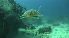Hawksbill Turtle non Colour Corrected Stock Footage