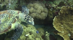 Hawksbill Turtle non Colour Corrected - stock footage