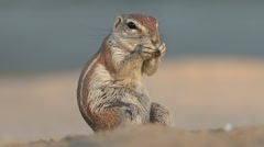 Feeding ground squirrel, Kalahari desert, South Africa Stock Footage