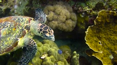 Hawksbill Turtle Colour Corrected Stock Footage