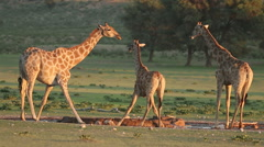 Giraffes drinking water, African wildlife safari, , Kalahari, South Africa - stock footage