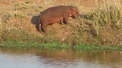 Hippopotamus on land, Kruger National Park, South Africa Stock Footage