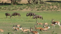 Springbok antelopes and blue wildebeest, Kalahari, South Africa Stock Footage
