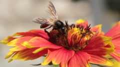 Bees collect nectar from the flowers Stock Footage