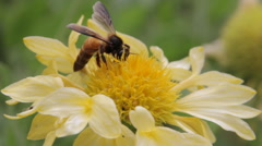 Honey bee on yellow flower macro summer heat macro Stock Footage