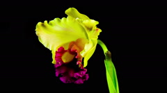 Time Lapse - Blooming Cattleya Orchid Flower with Black Background Stock Footage