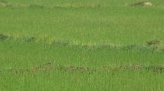 Common sandpiper bird in the rice field Stock Footage