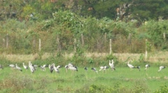 Asian openbills birds eating in the paddy field Stock Footage
