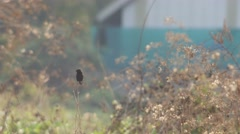 Pied bushchat bird resting on the branch Stock Footage