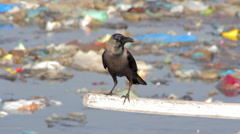 Crow in the garbage Stock Footage