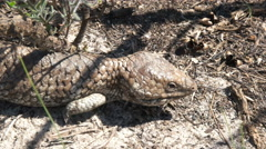 Western australian shingleback lizard walking Stock Footage