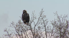Bird Imperial eagle landed on the tree and looking for a prey before hunting Stock Footage