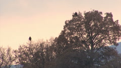 Bird Imperial eagle landed on the ground after successful hunting Stock Footage