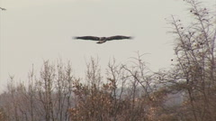 Bird Imperial eagle flying in the sky and looking of a prey during the hunting Stock Footage