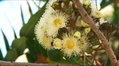Yellow eucalyptus flowers Stock Footage