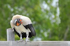 King vulture on perch - stock photo