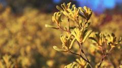 Kangaroo paw flower close up Stock Footage