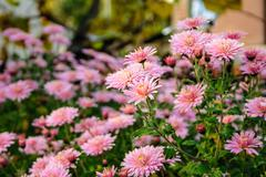 New England aster flowers in the garden oat sunrise Stock Photos