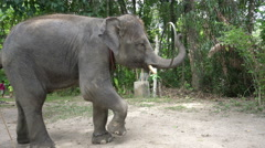 Elephant with a hoop. Stock Footage