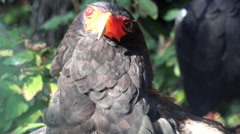 4k Bateleur eagle bird very close up portrait Stock Footage