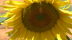 Sunflower swaying in the wind. Stock Footage