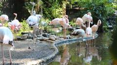 Flock of flamingo - stock footage
