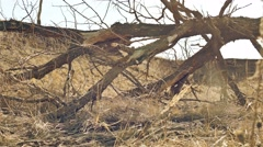 Old tree is withered landscape movement around on dry grass Stock Footage