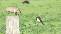 Swallow on the Pasture Stock Footage