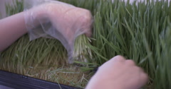 Cutting Wheatgrass Ending on a Rack Focus Stock Footage