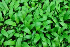 Ramson or wild garlic (lat. allium ursinum) Stock Photos