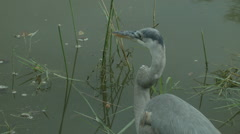 Tricolored Heron Static Stock Footage