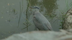 Tricolored Heron Dolly Forward Stock Footage